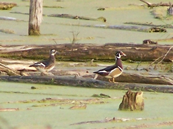 Just a couple of the many Wood Ducks we saw on this day!