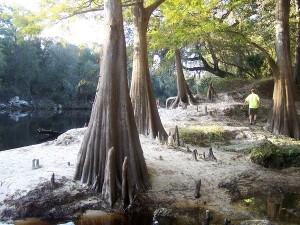 Beautiful Cypress trees along the Suwannee River