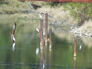 More Lesser Egrets