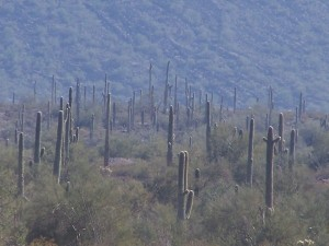 This field of saguaro's looks almost enchanting!