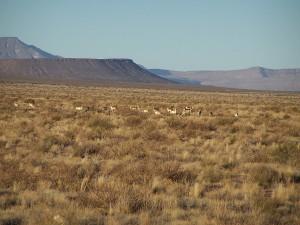 Pronghorn Antelope between Las Cruces, NM and Akela Flats, NM