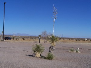 The Yucca Plants in New Mexico are awesome!