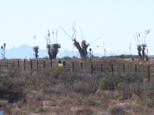 I couldn't help but think that Dr. Seuss was inspired by these Yucca's!