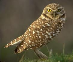 I did not take this picture but I wanted you to see what Luke saw; a burrowing owl!